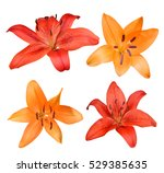 lily flowers isolated on white... | Shutterstock . vector #529385635