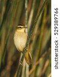 Small photo of Cute bird warbler in the lake habitat green reed background Moustached Warbler / Acrocephalus melanopogon