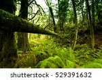 ancient rain forest in... | Shutterstock . vector #529391632