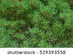 Pine Tree Twig Closeup...
