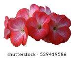 flower pink geranium. isolated... | Shutterstock . vector #529419586