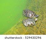 Two Beautiful Gigantic Turtles...