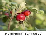 Red Rose Hip On Bush On A...