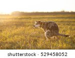 brown mixed dog pooping at huge ... | Shutterstock . vector #529458052