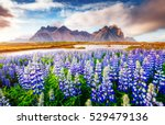 majestic lupine flowers glowing ... | Shutterstock . vector #529479136