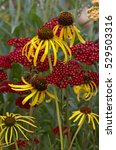 Small photo of Flowering Echinacea paradox with Achillea 'Red Velvet' in a garden border