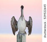 Immature Brown Pelican ...