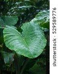 alocasia leaf   rain forest... | Shutterstock . vector #529589776