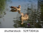 A Pair Of Nile Gooses In A Lake