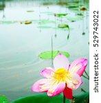 beautiful pink lotus flowers in ...   Shutterstock . vector #529743022