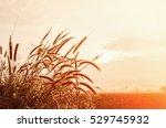 grass flower in a field on... | Shutterstock . vector #529745932