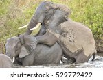 Elephants Mating In A Waterhol...