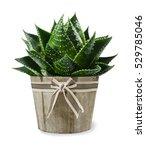 aloe vera plant in vase... | Shutterstock . vector #529785046
