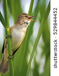 Small photo of cute bird is singing green nature background Great Reed Warbler / Acrocephalus arundinaceus