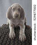 Weimaraner Puppy Dog On The...