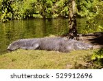 American Alligator Latin Name...