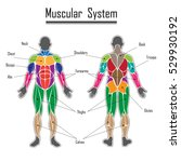 human body muscles different... | Shutterstock .eps vector #529930192