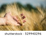 Man's Hand Holding Barley....
