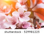 delicate flowers and young... | Shutterstock . vector #529981225