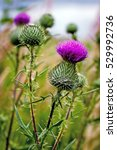 Thistle Buds And Flowers On A...