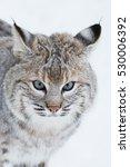 Bobcat In Winter