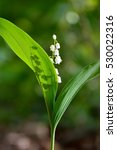 Lily Of The Valley   May Lily ...