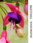 Fuchsia   Macro