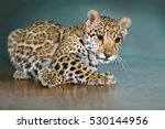 Beautiful Baby Jaguar Lay Funny