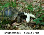 Turtle Eating Mushroom In A...