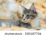 kitten of maine coon on spotted ... | Shutterstock . vector #530187736