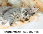Kitten Of Maine Coon On Spotted ...