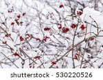 Red Berries On The Bush In Sno...