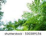 treetop  canopy  crown of the... | Shutterstock . vector #530389156
