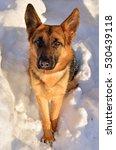 beautiful german shepherd in... | Shutterstock . vector #530439118