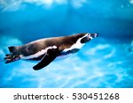 Penguin Swimming In The Zoo