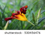 Bright Red Daylily In The...