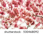 Japanese Cherry Blossom In...