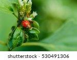 Ladybug  Insect.