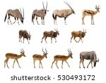 Set Of 11 Antelopes Isolated O...