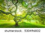 Japanese Maple Tree Sunset In...