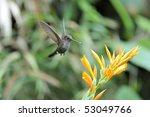 """Small photo of """"Adelomyia molanogenys"""", """"Speckled Hummingbird"""""""