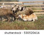 Danish Sheepdog