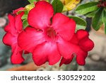 Small photo of Addendum or impala flower with green bokeh background.Red addendum