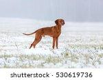 beautiful hungarian viszla. | Shutterstock . vector #530619736
