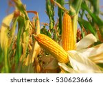 corn field | Shutterstock . vector #530623666