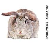 Grey rabbit isolated on white - stock photo