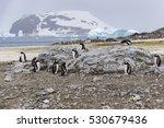 Gentoo Penguins Molting In...