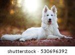 Cute White Swiss Shepherd Dog...