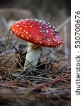 Small photo of A poisonous fly agaric mushroom (Amanita muscaria)
