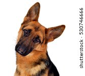 Stock photo a beautiful muzzle is the german shepherd isolated on a white background fluffy dog close up of 530746666